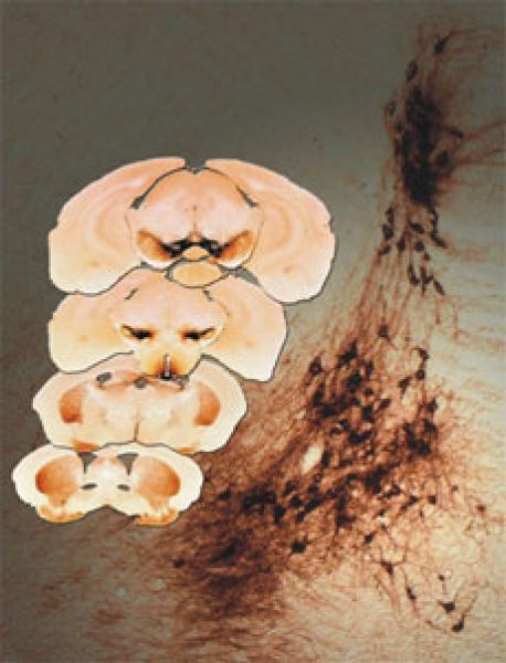 Quelle: MPG-Neurobiologie Abb.: Links im Bild sind verschiedene Querschnitte durch das Mäusegehirn gezeigt. In den dunkler gefärbten Bereichen haben die Max-Planck-Wissenschaftler ganz gezielt die Rezeptoren für bestimmte Nervenwachstumsfaktoren ausgeschaltet. Im Hintergrund sind die Nervenzellen abgebildet, die auch bei der Parkinson-Krankheit absterben, und deren Überleben durch den Nervenwachstumsfaktor GDNF und seinen Ret-Rezeptor positiv beeinflußt wird. Bild: Max-Planck-Institut für Neurobiologie