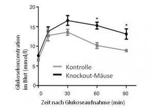 Quelle: Nina Wettschureck Abb. 2: Mäuse, denen die Gene für Gq/G11 fehlen (schwarze Kurve), weisen nach der Aufnahme von Glukose einen erhöhten Glukosespiegel im Blut im Vergleich zu Kontrolltieren (graue Kurve) auf. Bild: Nina Wettschureck