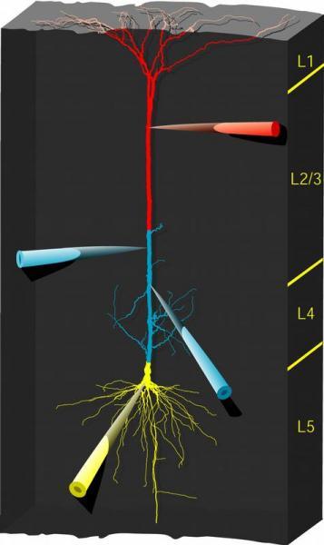 """Quelle: Bild: Institut für Physiologie, Bern. Modell einer Pyramidenzelle mit Messelektroden, die über ihre Verästelungen, sogenannte Dendriten, gleichzeitig """"Top-down-"""" (rot) und """"Bottom-up-Information"""" (gelb) erhält. Der blaue Teil kennzeichnet Dendriten, die noch sehr wenig erforscht sind und in der vorliegenden Arbeit nicht berücksichtigt wurden."""