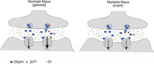 Quelle: mpi/Hirnforschung ink verstärkt die Glyzinrezeptorantwort. Ist Zink an den Rezeptor gebunden, strömen Chlorid-Ionen vermehrt ein (linkes Bild, rechter Ionenkanal). Dies verstärkt die Wirkung von Glyzin innerhalb neuronaler Schaltkreise. Die Mutation der Zinkbindungsstelle am Glyzinrezeptor verhindert, dass Zink den Chlorideinstrom verstärkt (rechtes Bild), und verursacht Symptome ähnlich der menschlichen Schreckerkrankung Hyperekplexie. Bild: Max-Planck-Institut für Hirnforschung