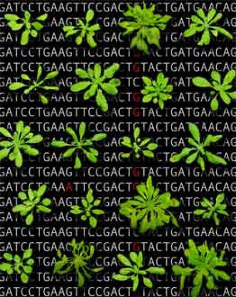 Quelle: MPI Entwicklungsbiologie Abb. 1: Arabidopsis-Pflanzen unterschiedlicher Herkunft unterscheiden sich in vielen Merkmalen (im Hintergrund beispielhaft die DNA-Sequenzvariation in diesen Pflanzen). Bild: MPI für Entwicklungsbiologie