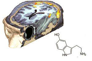 Quelle: MPG-Biologische Kybernetik, Tübingen Abb. Die rot und gelb schattierten Bereiche markieren Aktivierungen im Gehirn eines nichthumanen Primaten, gemessen mittels funktioneller Magnetresonanztomografie. Daneben ein Strukturmodell von Serotonin (5-Hydroxytryptamin), einer Substanz welche modulierend in die Informationsverarbeitung im Gehirn eingreift und die bei verschiedenen neurologischen Störungen eine Rolle spielt. Bild: Max-Planck-Institut für biologische Kybernetik, Tübingen