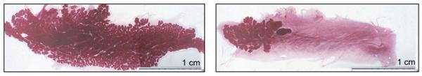 Quelle: MPI für biophysikalische Chemie Bei säugenden Mäusen, denen die mikroRNAs 212 und 132 fehlen, sind die Milchgänge (dunkelrot) im Brustdrüsengewebe nicht weiter ausgewachsen (rechts). Die Folge: Diese Mäuse können nicht genügend Milch für ihren Nachwuchs produzieren. Bild: MPI für biophysikalische Chemie