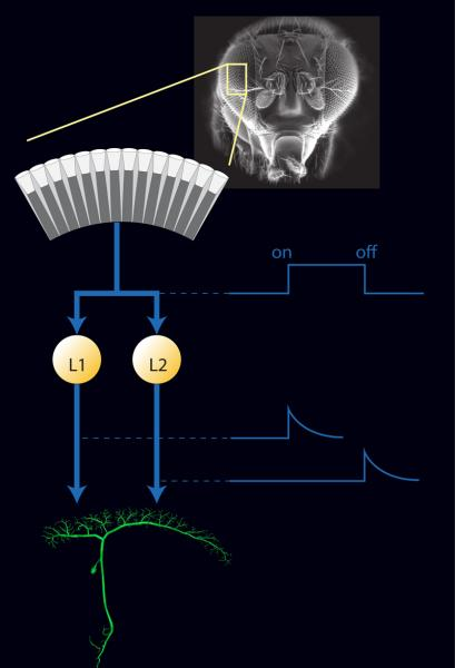 """Quelle: Max-Planck-Institut für Neurobiologie / Schorner Jedes Einzelauge des Fliegen-Facettenauges nimmt ON- und OFF-Kontraständerungen wahr. Diese Information wird jedoch direkt nach dem Einzelauge aufgespalten (blauer Eingangspfeil). Die L1-Zellen leiten nur noch Informationen über ON-Kanten (""""Licht an""""), die L2-Zellen nur über OFF-Kanten (""""Licht aus""""), an die Ausgangszelle (grün) weiter. Bild: Max-Planck-Institut für Neurobiologie / Schorner"""