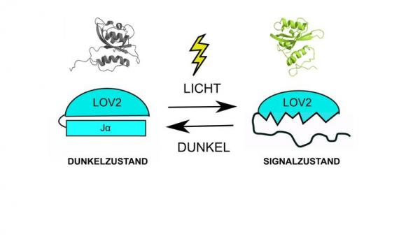 Quelle: Universität Regensburg Der Photozyklus des AsLOV2-J-alpha-Lichtsensors vom Saat-Hafer. Die strukturelle Veränderung durch Licht wird hier modellhaft dargestellt. Foto: Universität Regensburg